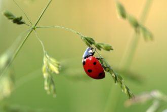 Owady po angielsku: biedronka - ladybird