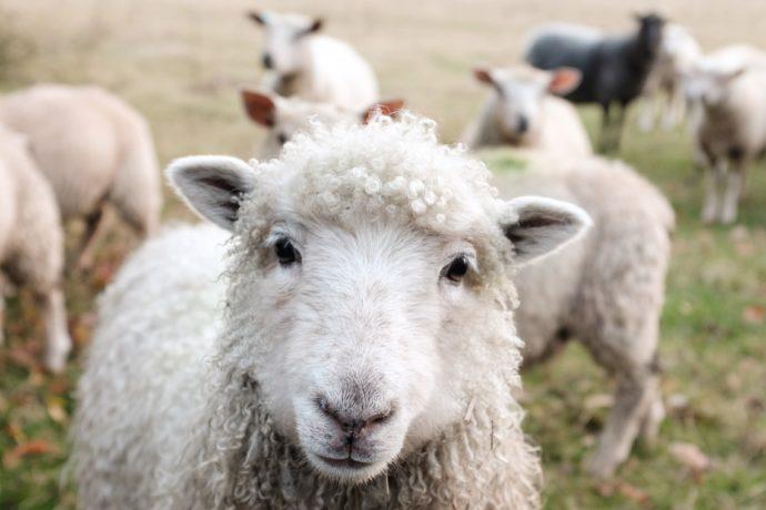 Zwierzęta hodowlane - owca